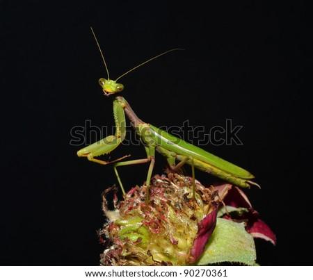 portrait of mantis on the flower