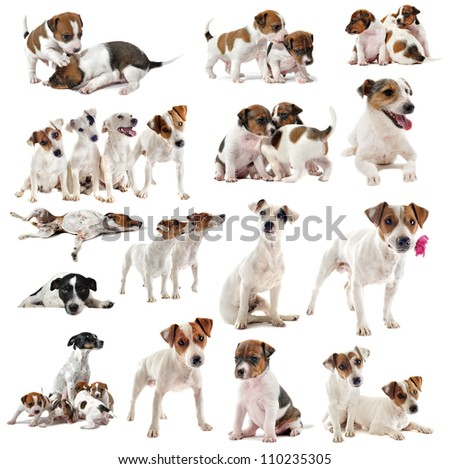 portrait of many purebred jack russel terrier in studio - stock photo