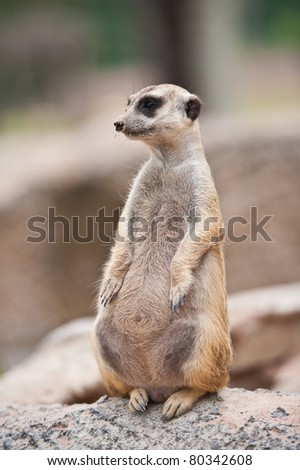 Portrait of Meerkat