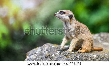 Portrait of meerkat on stone with color backround. lat. (Suricatta suricatta)