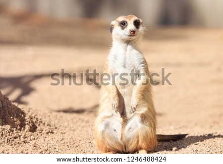 Portrait of Meerkat Suricata suricatta, African native animal, small carnivore  #1246488424