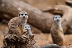 Portrait of Meerkat Suricata suricatta, African small animal, carnivore belonging to the mongoose family