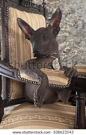 Portrait of Mexican xoloitzcuintle puppy posing on an antique chair