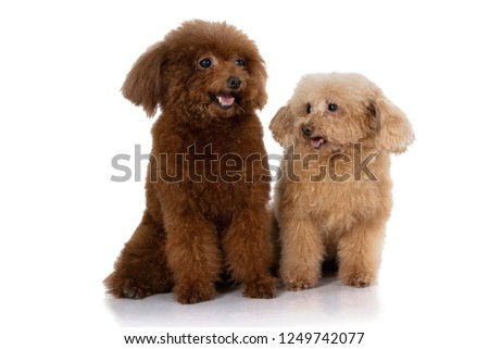 portrait of miniature poodle dog isolated on white background
