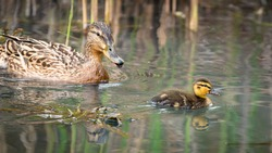 Portrait of mother duck and chicks in wilderness swimming in the pond. Ducklings swim around mom. Animal babies in springtime.