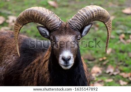 Portrait of mountain goat against green grass. Mouflon with big horns. Foto stock ©