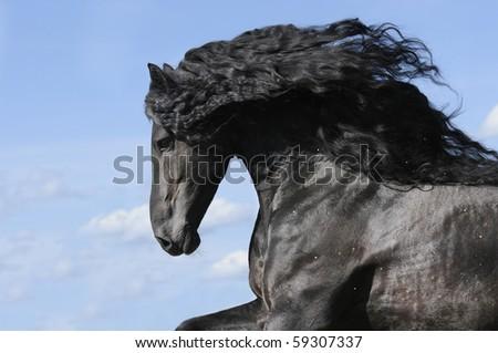 Friesian Horse Stallion. black horse stallion