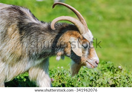 Portrait of Nanny Goat in the Green Pasture #341962076