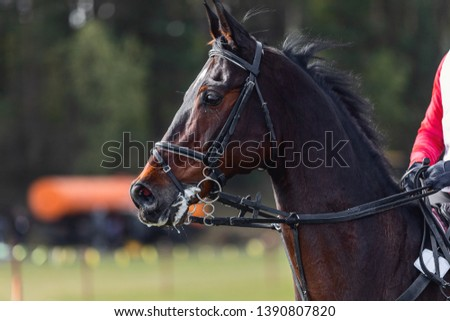 portrait of nervous dark sorrel horse waiting start of eventing competition