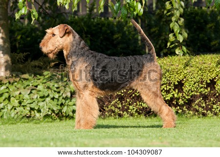 Portrait of nice airedale terrier
