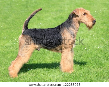 Portrait of nice airedale terrier in the garden