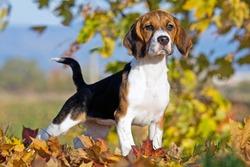 Portrait of nice beagle