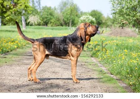 Portrait of nice bloodhound - stock photo