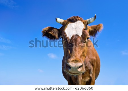 Portrait of nice brown cow against blue sky background