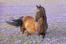 Portrait of nice brown horse posing on blue flowers