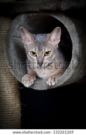 Portrait of nice cat - abyssinian cat