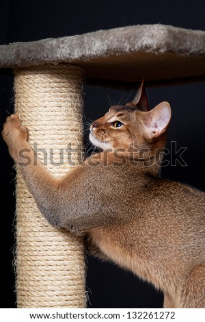 Portrait of nice cat - abyssinian cat