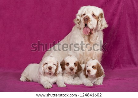 Portrait of nice clumber spaniel #124841602