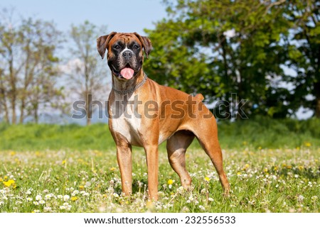 Portrait of nice german boxer