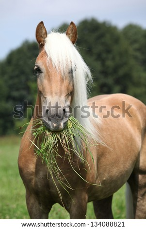 Portrait of nice haflinger eating grass on freedom