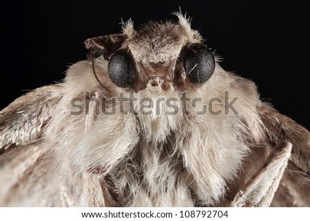 Portrait of Night Moth Butterfly - stock photo