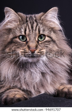 portrait of Norwegian female cat