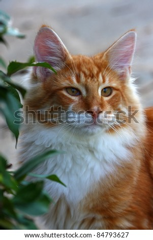 portrait of Norwegian male cat in the garden