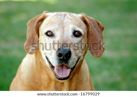 Portrait of old Rhodesian Ridgeback hound dog