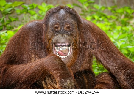 Portrait of Orangutan Pongo pygmaeus laughing with mouth wide open