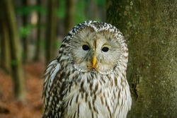 Portrait of owl. Ural owl, Strix uralensis, perched in beech forest. Beautiful grey owl in natural habitat. Wildlife scene from autumn nature. Large nocturnal bird of prey.