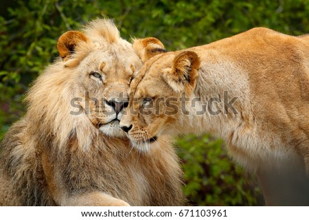 Portrait of pair of African lions, Panthera leo, detail of big animal, evening sun, Chobe National Park, Botswana, Africa. Cat in nature habitat. Face portrait. Greeting of cats, male and female.