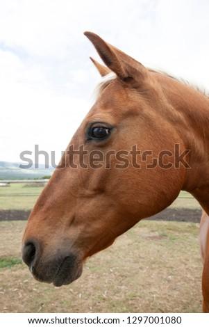 Portrait of palomino horse #1297001080