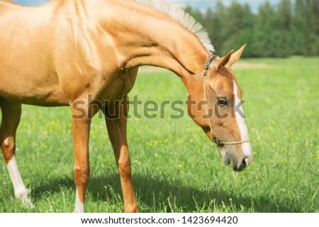 portrait of palomino purebred akhalteke mare poseing in green grass field #1423694420