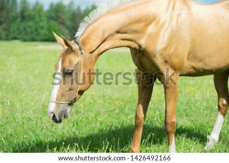 portrait of palomino purebred akhalteke mare poseing in green grass field #1426492166