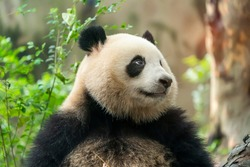Portrait of panda bear close up. Cute China animals. Close up view of the panda's head.