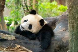 Portrait of panda bear close up. Cute China animals. Close up view of the panda's head.