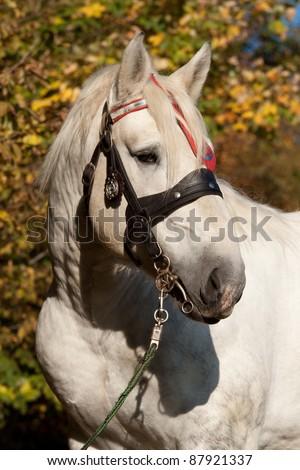 Portrait of Percheron stallion with a bridle in the autumn lands