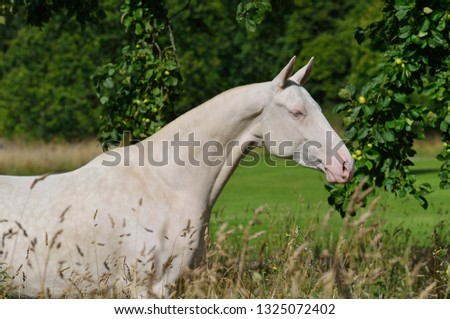Akhal Teke Free Horse Images And Stock Photos Page 3