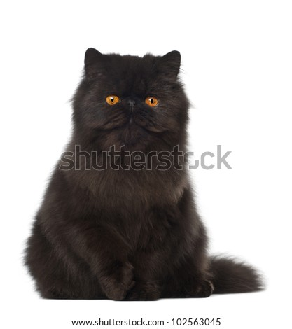 Portrait of Persian cat, 7 months old, sitting in front of white background - stock photo