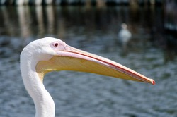 portrait of pink pelican with on a background of pond with blue water