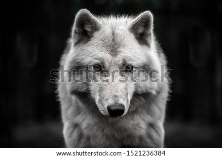 Portrait of polar wolf handsome young male. Сток-фото ©