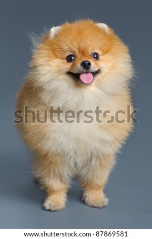 Portrait of pomeranian spitz on gray