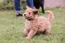 Portrait of poodle dog living in belgium