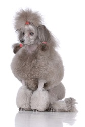 Portrait of poodle isolated on white
