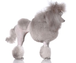 Portrait of poodle standing on three legs isolated on white