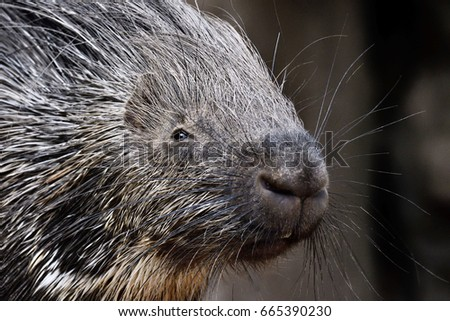 portrait of porcupine, Hystrix