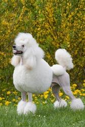 Portrait of posing King size white poodle dog