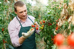 Portrait of positive worker checking quality of cherry tomatoes on farm