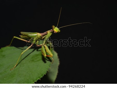 portrait of praying mantis on the leaf