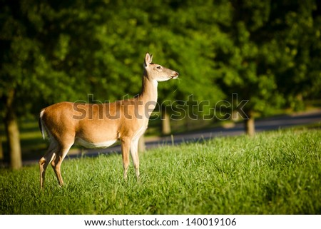Portrait of pregnant whitetail deer doe, Odocoileus virginianus,  grazing in field during spring - stock photo